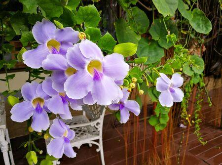 Laurel clockvine (scientific name: Thunbergia laurifolia) purple flowers blooming beautifully in the garden.