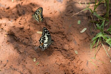The lime butterfly (Scientific name: Papilio demoleus malayanus Wallace)  on the ground. Stockfoto