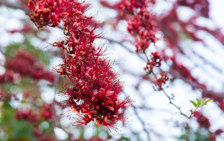 Monkey Flower Tree, Fire of Pakistan (scientific name :Phyllocarpus septentrionalis) Red flowers blooming beautifully on the trees on the natural background defocus. Stock Photo