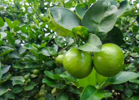 Green Lemon fruit on the tree in the garden on a natural background. Stock Photo
