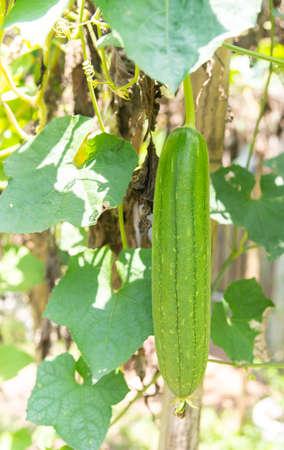 Sponge gourd, Smooth loofah, Vegetable sponge, Gourd towel (Scientific name: Luffa cylindrica), green fruit grows in the garden.