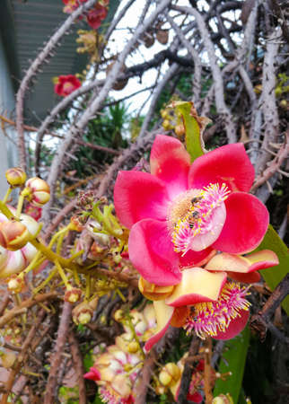 Cannonball tree flowers are blooming beautifully on the tree. Stock Photo