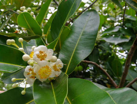 The flowers of Duabanga grandiflora are blooming beautifully on the tree. On natural background. Stock Photo