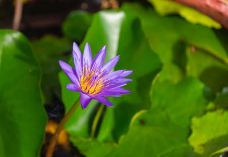 Purple lotus flowers blooming in the lotus pond on blurry nature background.