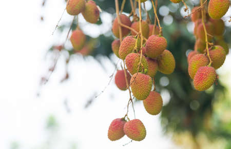 Lychee (scientific name: Litchi chinensis Sonn) Raw fruits on tree in the garden on a natural background blur. Stock Photo