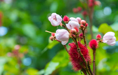 The flowers of Bixa orellana or Anatto tree bloom on the tree in the garden on blur nature background. Stock Photo