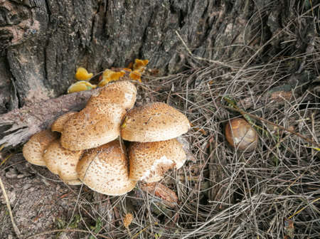 A group of naturally occurring poisonous mushrooms in the rainy season.