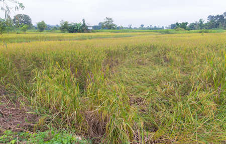 The rice fields are damaged by the winds.