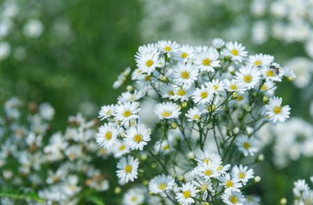 white cutter flowers Blooming in flower garden on blurry natural background.