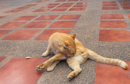 The brown male cat was lying on the floor, licking its fur to clean.