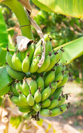 A bunch of raw green bananas on a banana tree in the garden. on blurry natural background.