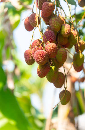Lychee, Lichi  Fruit on tree in the garden, natural background blur. Stock Photo