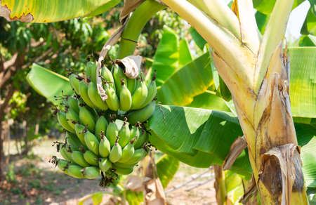 A bunch of raw green bananas on a banana tree in the garden on blurry natural background.