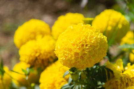 Marigolds blooming in the garden Against warm sunshine in winter on blurry nature background. Stock Photo