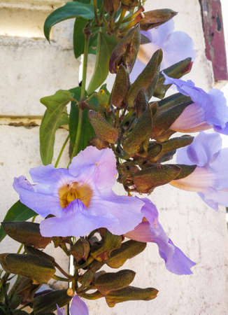 laurel clock, blue trumpet vine, laurel-leaved Purple flowers are blooming beautifully. It is a medicinal plant that has properties for detoxification and detoxification. Stock Photo