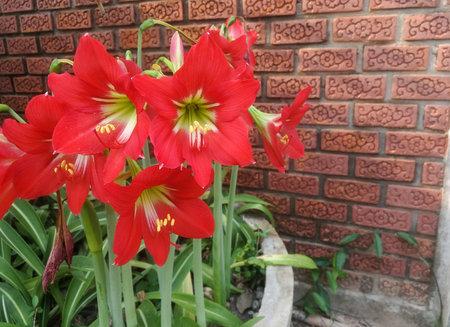Amaryllis (Scientific name: Hippeastrum johnsonii Bury) Red flowers bloom on trees on the background of orange-brown brick walls.