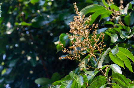 The Longan flower bloomed and is growing as a young fruit on the tree in the garden. On a natural background.