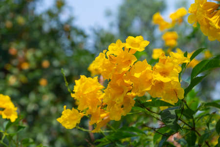 Yellow elder, Trumpetbush, Trumpetflower (Scientific name: Tecoma stans (L.) Juss. Ex Kunth), golden yellow flowers blooming on the garden tree. On blurry natural background Stock Photo