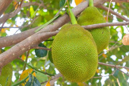Jackfruit (Scientific name: Artocarpus heterophyllus Lam.) Fruits are growing on trees in summer in Thailand gardens.