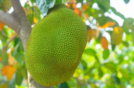 Jackfruit (Scientific name: Artocarpus heterophyllus Lam.) Fruits are growing on trees in summer in Thailand gardens.On natural background blur.