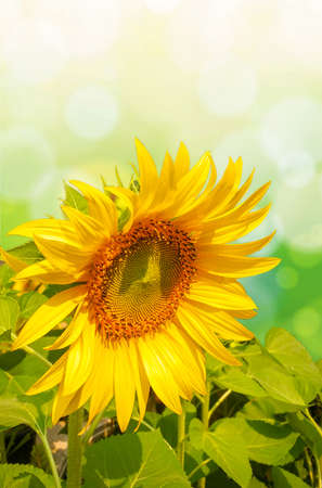 Sunflowers are blooming beautifully in the garden on a bokeh background. Stock Photo