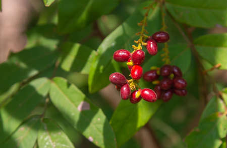 Lepisanthes rubiginosa, a useful Thai wild fruit , is a very good medicinal value.The results are a beautiful bunch of red. On a blurry natural background. Stock Photo