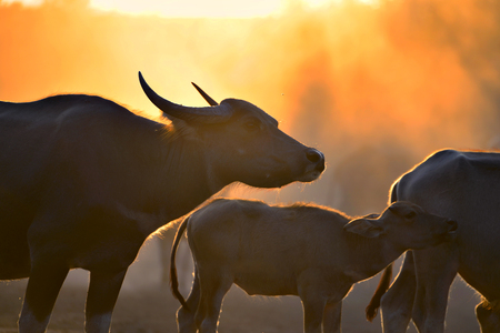 The atmosphere is beautiful during sunset . Silhouette with fields filled with herds of buffalo.