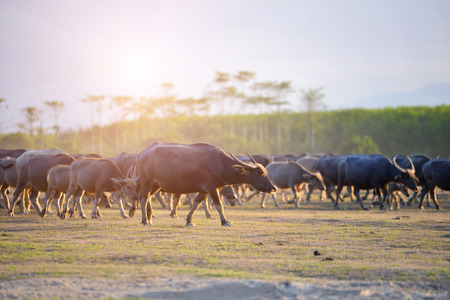 The atmosphere is beautiful during sunset. With Fields filled with herds of buffalo. Stock Photo