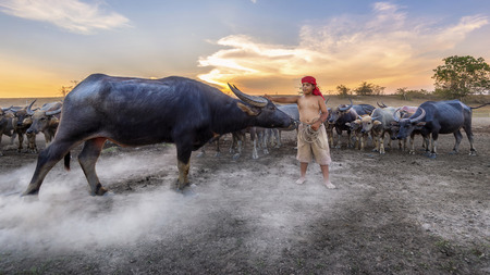 NAKHON SRI THAMMARAT THAILAND - April 23, 2015 :Culture of coexistence of the Boy and Buffalo during sunset. with fields  filled with herds of buffalo. April 23, 2015 at Nakhon Sri Thammarat Thailand.