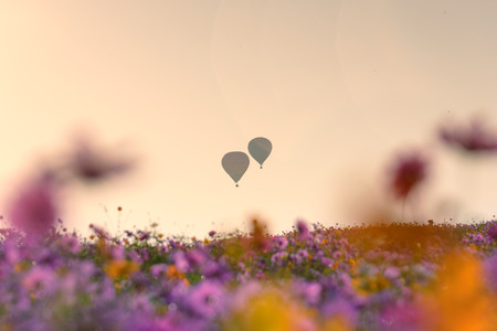 Fields of Cosmos and Twin Hot Air Balloons .Travel concept .