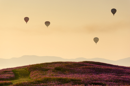 Cosmos Flower Field and Hot Air Balloon in morning at Chiang Rai Thailand . Zdjęcie Seryjne