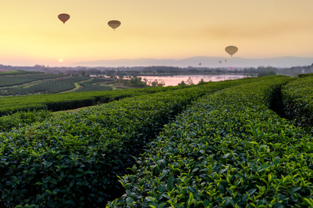 Tea Plantation and hot air balloon in morning . Change Ri , North of Thailand.
