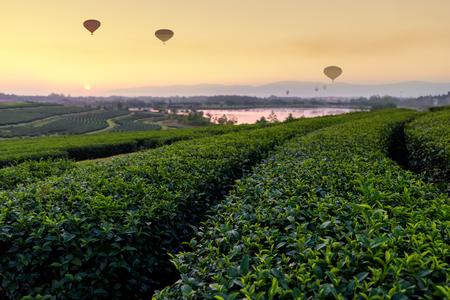 Tea Plantation and hot air balloon in morning . Change Ri , North of Thailand.