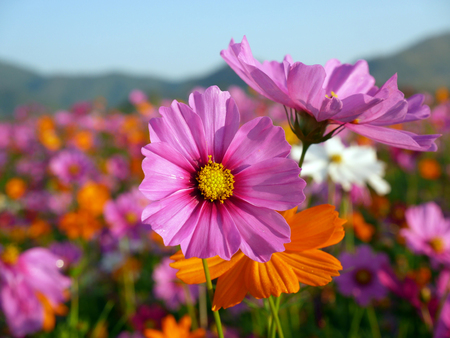 Cosmos flower (Cosmos Bipinnatus) with blurred background . Beautiful flowers ,Flowers in the garden and sunray. Stock Photo - 97560889