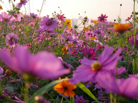 Cosmos flower (Cosmos Bipinnatus) with blurred background . Beautiful flowers ,Flowers in the garden and sunray. Standard-Bild