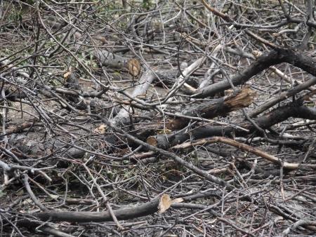 sawed: sawed branches