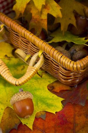 Acorns on colorful autumn foliage and basket on background