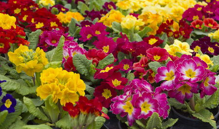 Many colorful primroses filling the entire picture Stock Photo