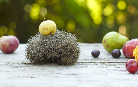Hedgehog among fruits, apples, pears, plums and corn