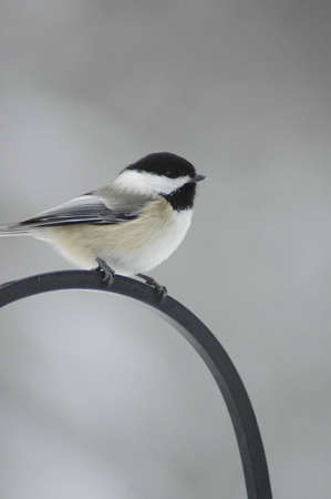 A black-capped chickadee sitting on a cast iron perch. Imagens
