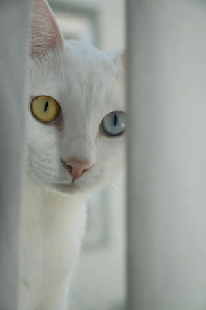A blue and yellow-eyed cat peering out from behind a curtain.