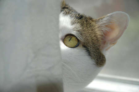 eyeing: A golden-eyed cat eyeing something from behind a curtain.