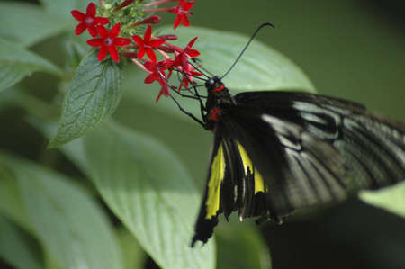 sipping: A black and yellow butterfly sipping nectar from a red flower. Stock Photo