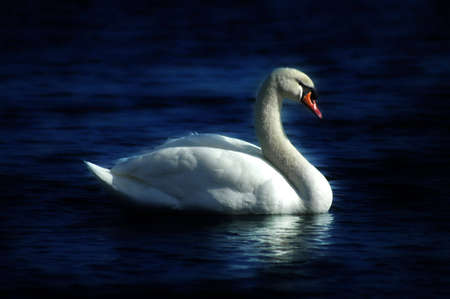 A swimming swan. The white of the swan contrasts with the darkness of the water. The swan appears to be glowing.