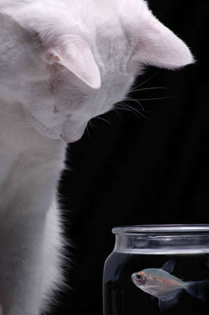 A white cat peers into a fish bowl in order to watch a swimming fish. Stock Photo
