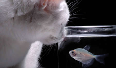 mischevious: A white cat peers into a fish bowl in order to watch a swimming fish. Stock Photo