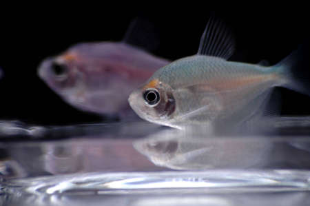 Two fruit tetras swim near the bottom of the fish bowl. The blue fish in the foreground is in focus, while the pink one in the background is out of focus. 版權商用圖片