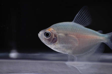 tetra fish: A fruit tetra swimming near the bottom of its bowl. Stock Photo