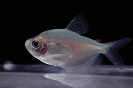 tetra fish: A fruit tetra swims near the bottom of a fish bowl.