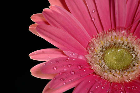 A bright pink gerbera daisy against a black background. photo